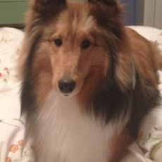 Fraser the Sheltie's Story